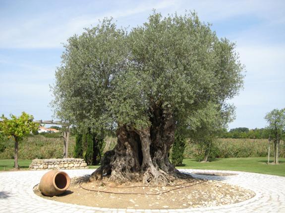 Un olivier mill naire royan - Engrais pour olivier ...